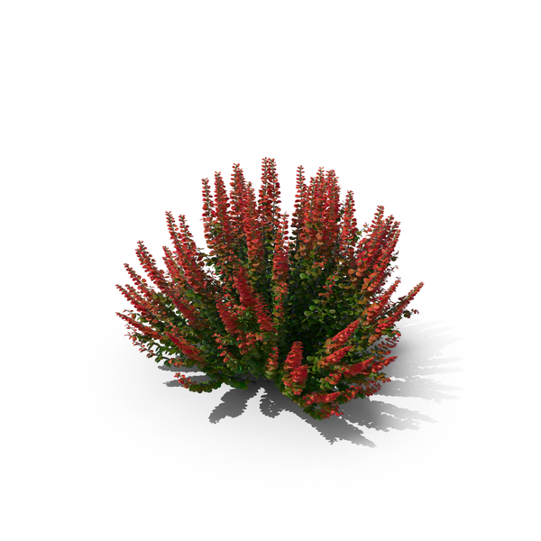Japanese: Barberry Bush PNG & PSD Images