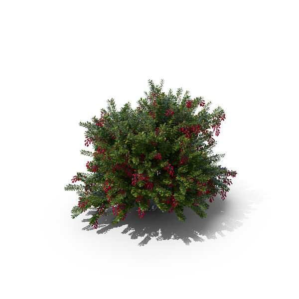 Barberry Bush PNG & PSD Images