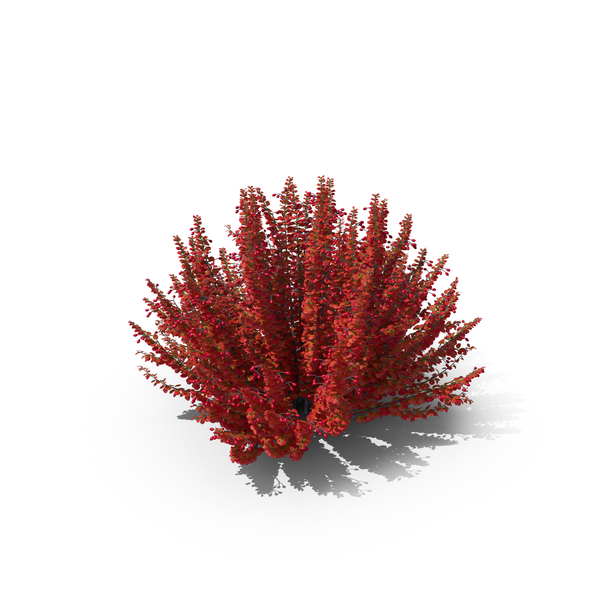 Barberry Red PNG & PSD Images