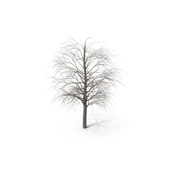 Bare Maple Tree PNG & PSD Images