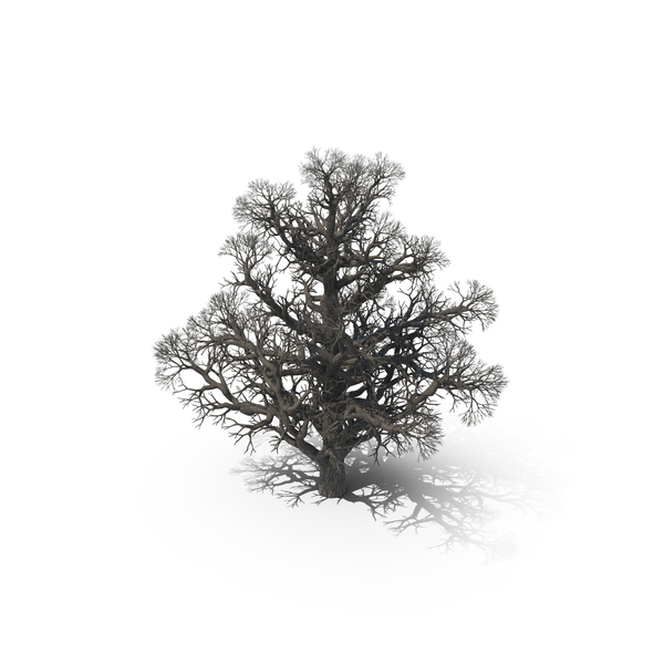 Bare Oak Tree PNG & PSD Images