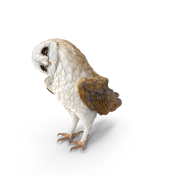 Barn Owl PNG & PSD Images
