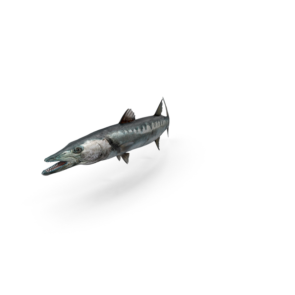 Barracuda Object