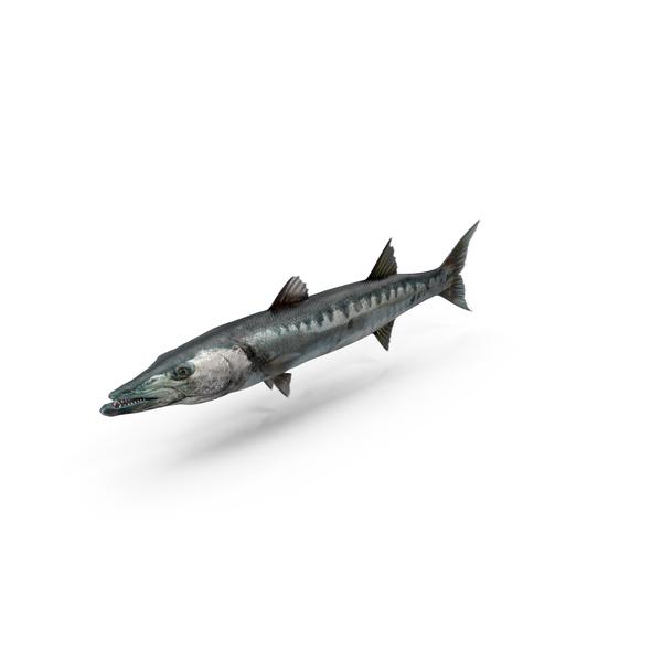 Barracuda PNG & PSD Images