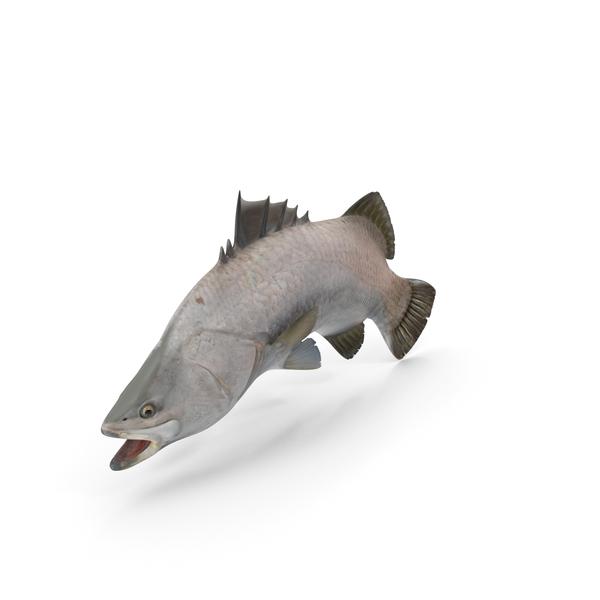 Barramundi Fish Swimming Pose PNG & PSD Images
