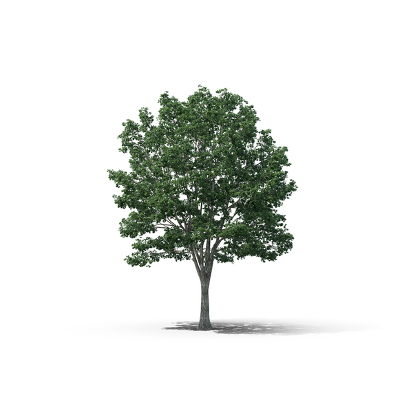 Basswood Tree PNG & PSD Images
