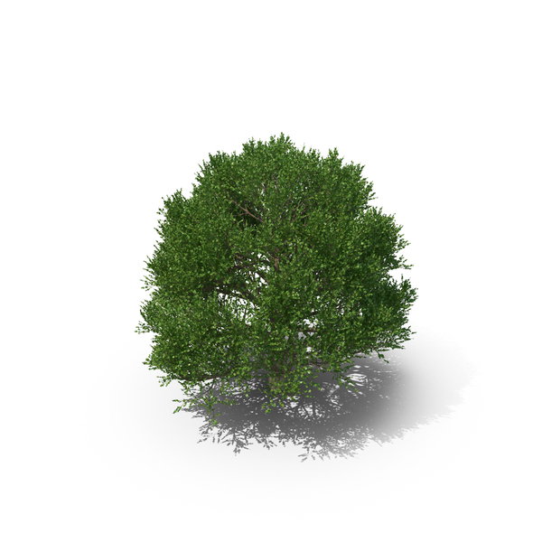 Bay Laurel Tree PNG & PSD Images