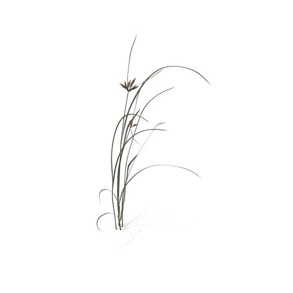 Bayonet Grass (Bolboschoenus Maritimus) Object