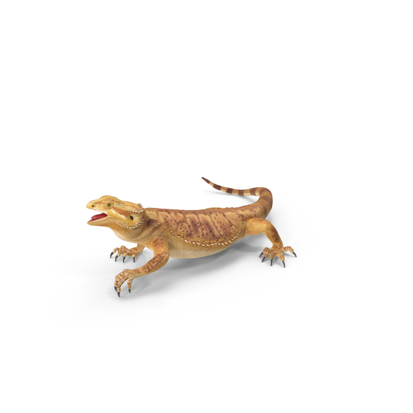 Central: Bearded Dragon PNG & PSD Images