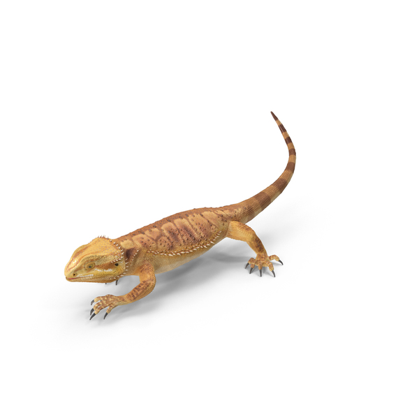 Bearded Dragon PNG & PSD Images