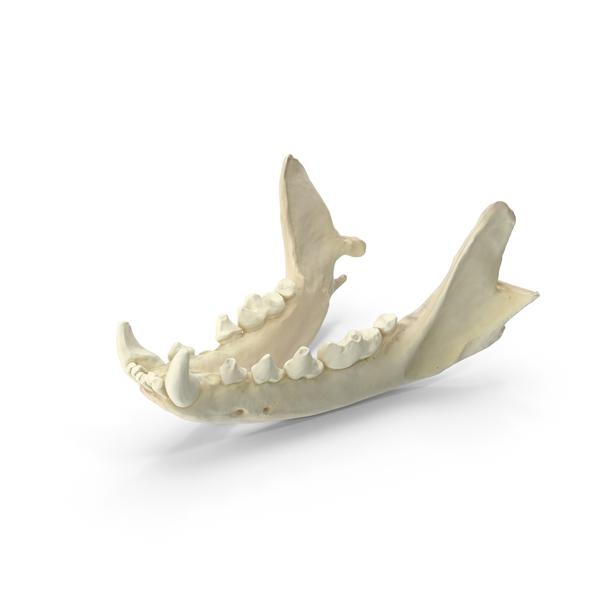 Animal Skeleton: Beech Marten Jaw Bone PNG & PSD Images