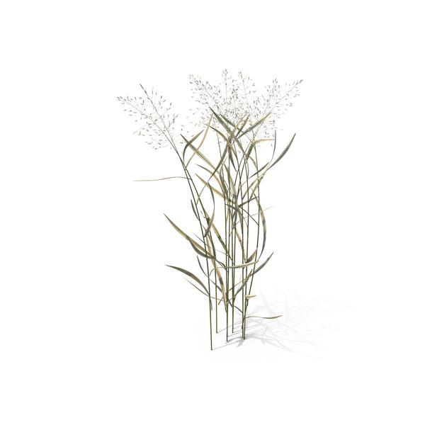 Grasses: Bentgrass (Agrostis Capillaris ) PNG & PSD Images