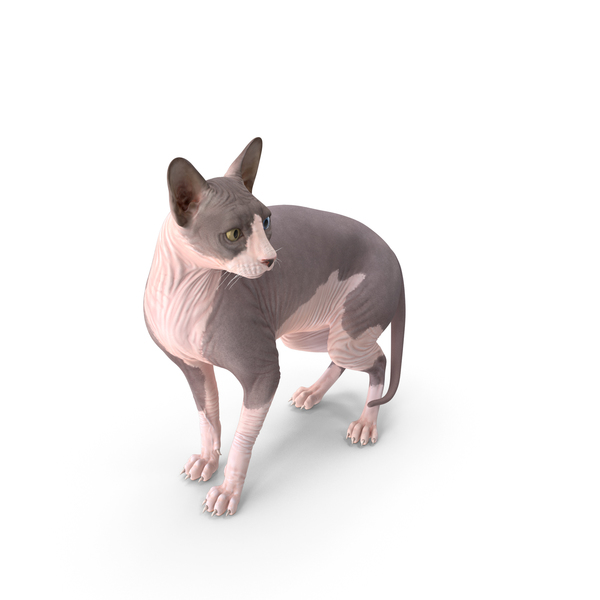 Bicolor Sphynx Cat PNG & PSD Images