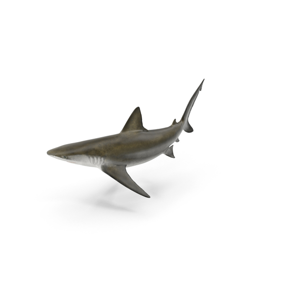 Bignose Shark PNG & PSD Images