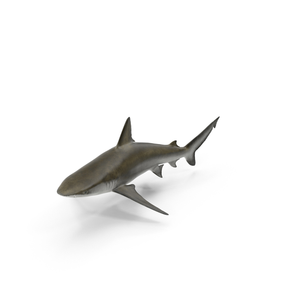 Bignose Shark Object