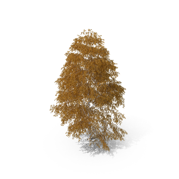 Birch Tree Autumn PNG & PSD Images