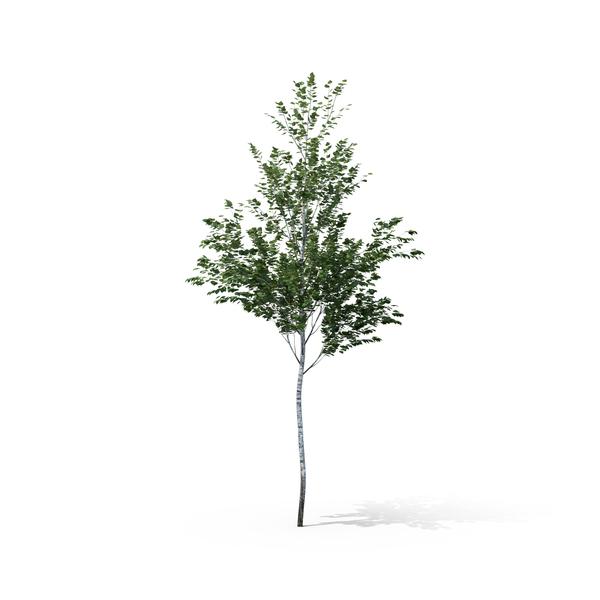 Birch Tree Object