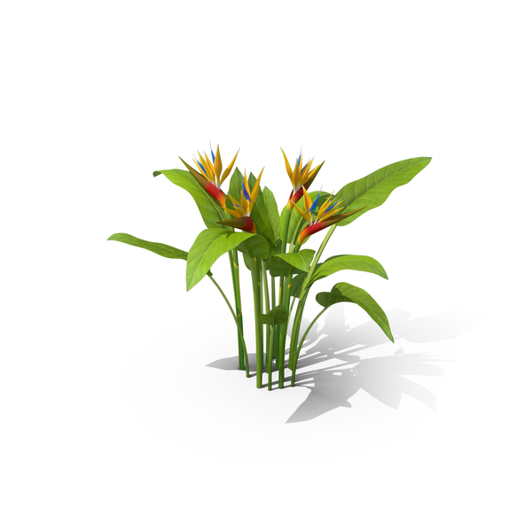 Bird of Paradise Flowers PNG & PSD Images