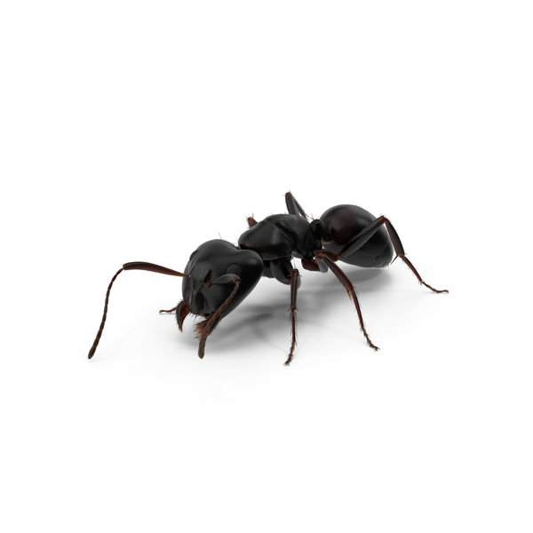 Black Ant Object