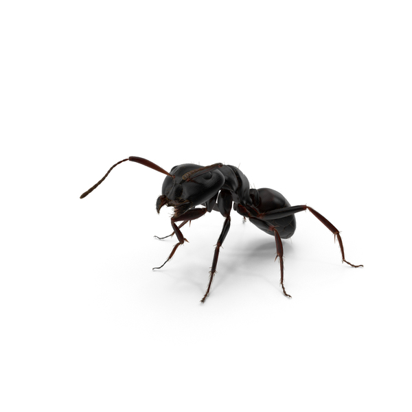 Black Ant PNG & PSD Images