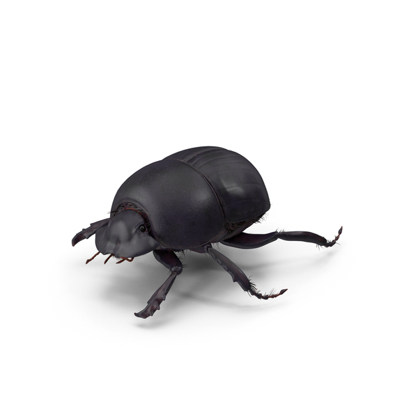 Black Scarab Beetle PNG & PSD Images