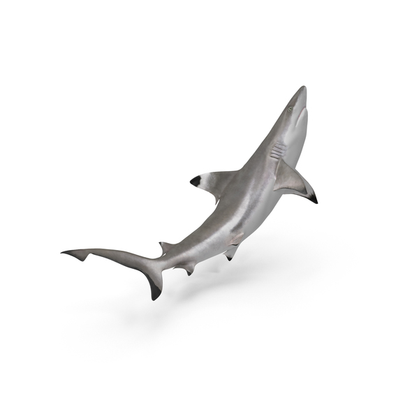 Blacktip Reef Shark Object