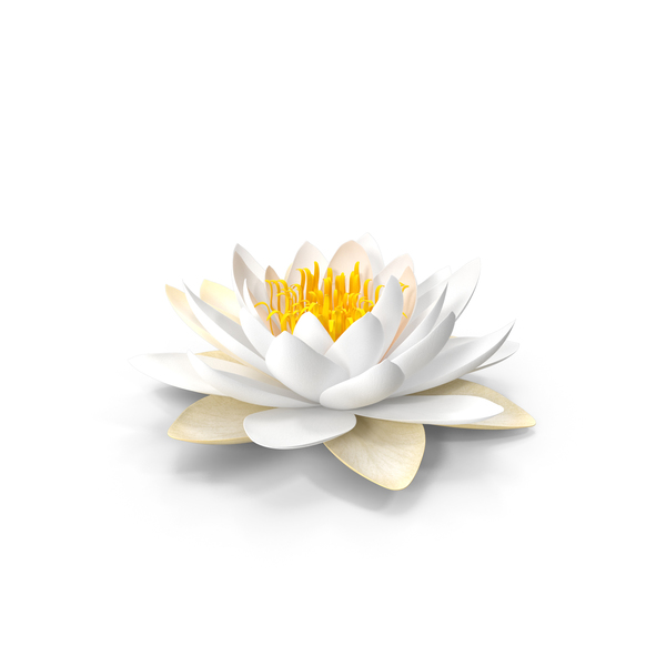 Blooming European White Water Lily PNG & PSD Images