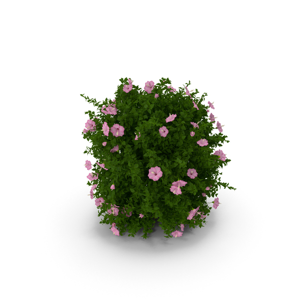 Blooming Hibiscus Bush Pink PNG & PSD Images