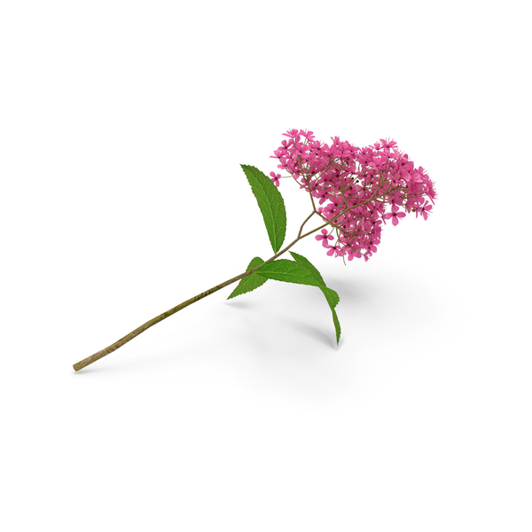 Blooming Spiraea Japonica Anthony Waterer Branch PNG & PSD Images