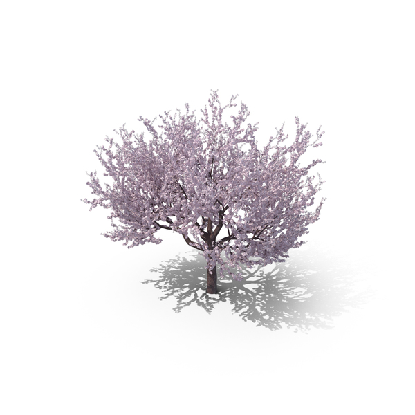Blossoming Cherry Tree PNG & PSD Images