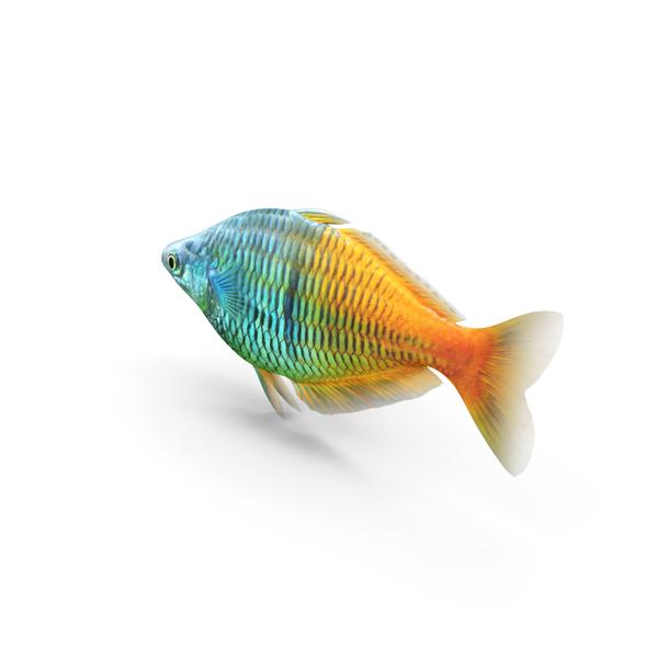 Coral Fish: Boesemani Rainbowfish PNG & PSD Images