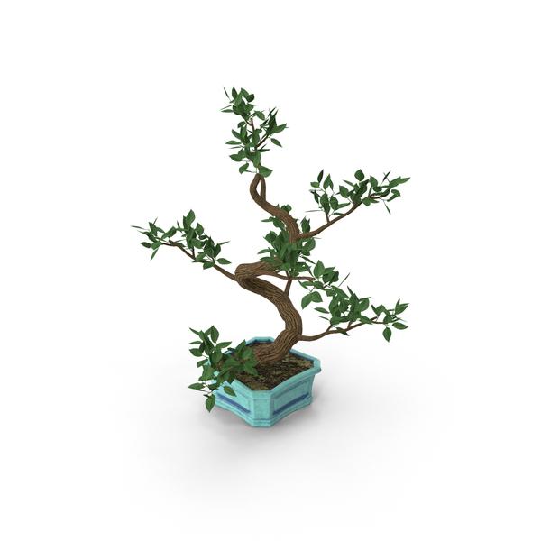 Conifer: Bonsai Elm Tree PNG & PSD Images