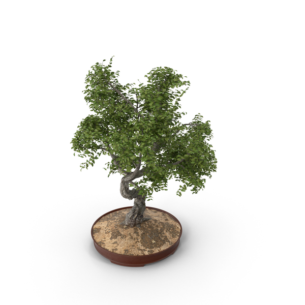 Conifer: Bonsai Tree PNG & PSD Images