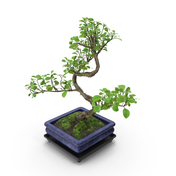 Conifer: Bonsai Tree PNG & PSD Images