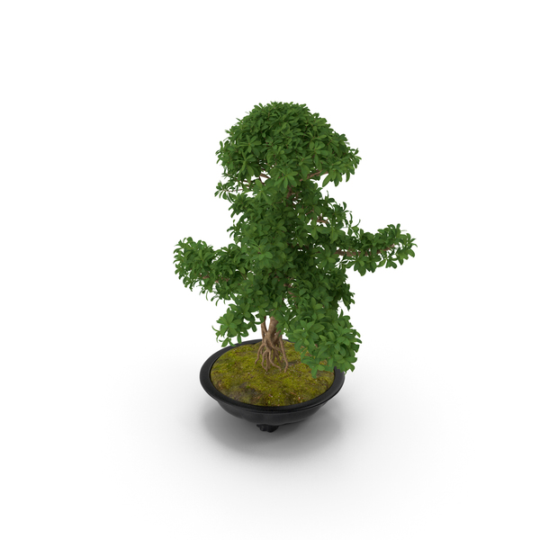 Bonsai Tree in Plastic Pot PNG & PSD Images