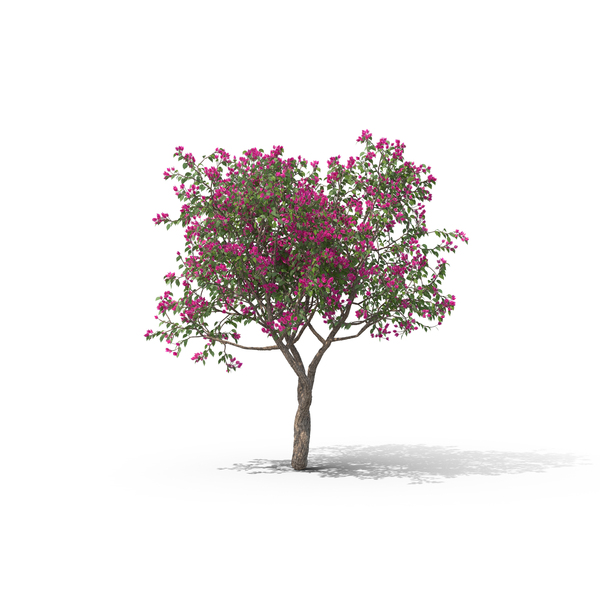 Bougainvillea Tree PNG & PSD Images
