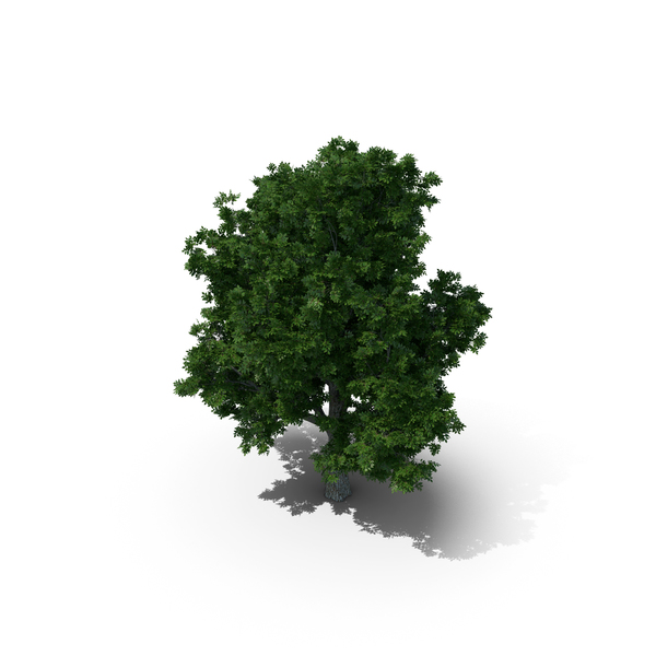 Box Elder Tree PNG & PSD Images