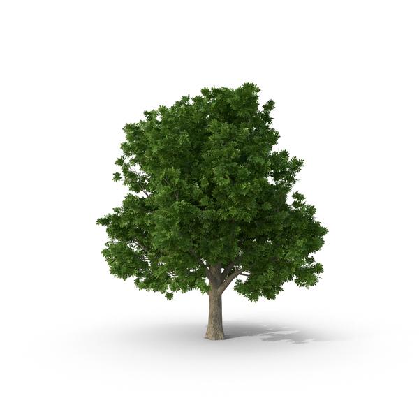 Box Elder Tree Object
