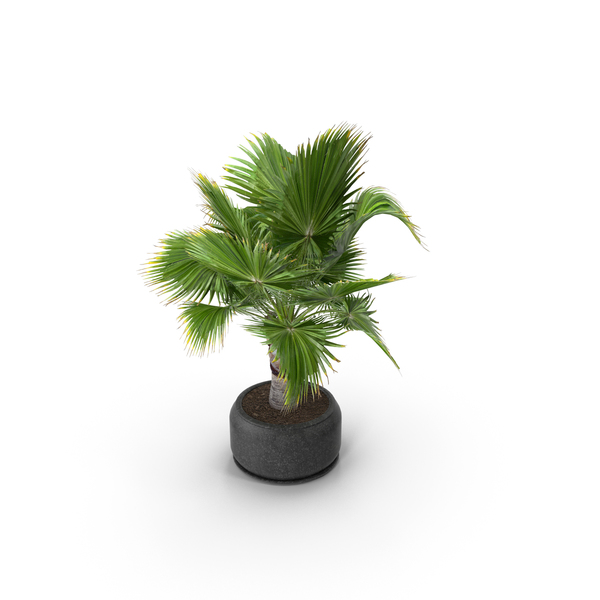 Tree: Brahea Palm PNG & PSD Images