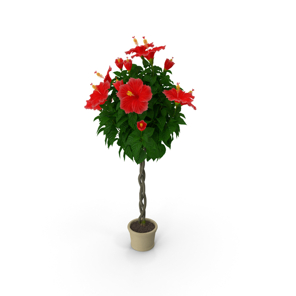 Braided Hibiscus Plant Red PNG & PSD Images