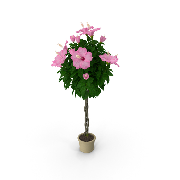 Braided Hibiscus Tree in Pot Pink PNG & PSD Images