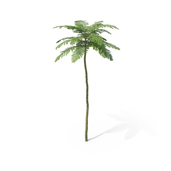 Palm: Brazilian Fern Tree PNG & PSD Images