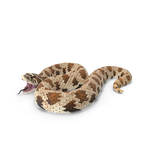 Brown Hognose Snake Attack Pose PNG & PSD Images