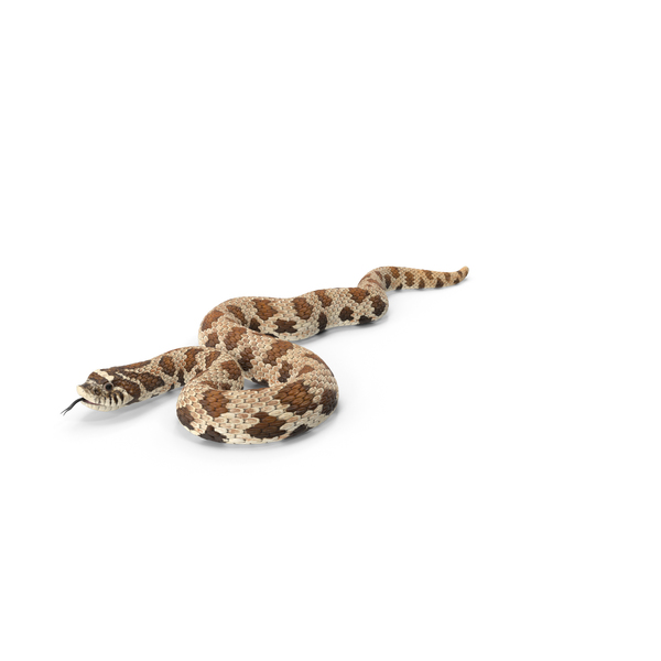 Brown Hognose Snake Coiled Pose PNG & PSD Images