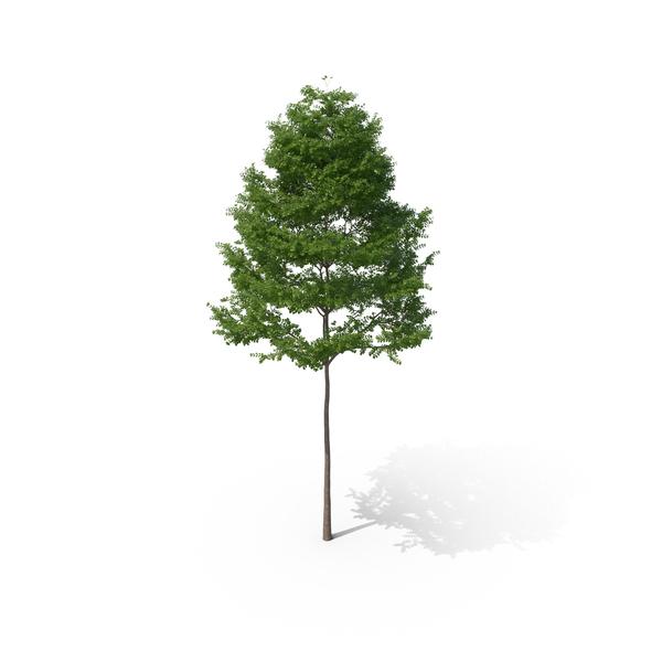 Bucida Tree PNG & PSD Images