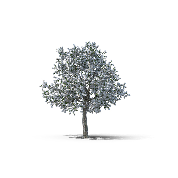 Deciduous Tree: Callery Pear PNG & PSD Images