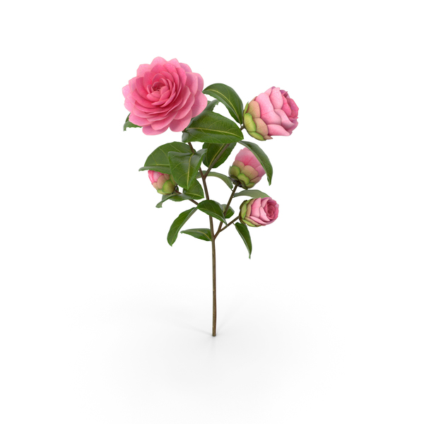 Camellia Pink PNG & PSD Images