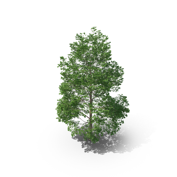 Canadian Poplar Tree PNG & PSD Images