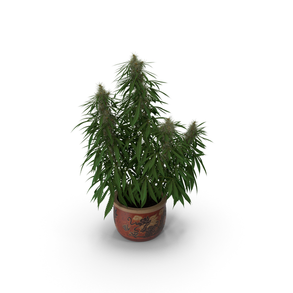 Cannabis Sativa Home Plant PNG & PSD Images