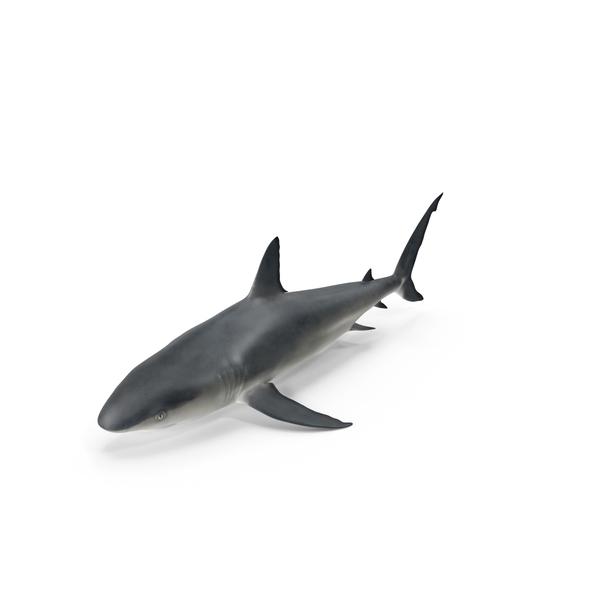 Caribbean Reef Shark Object